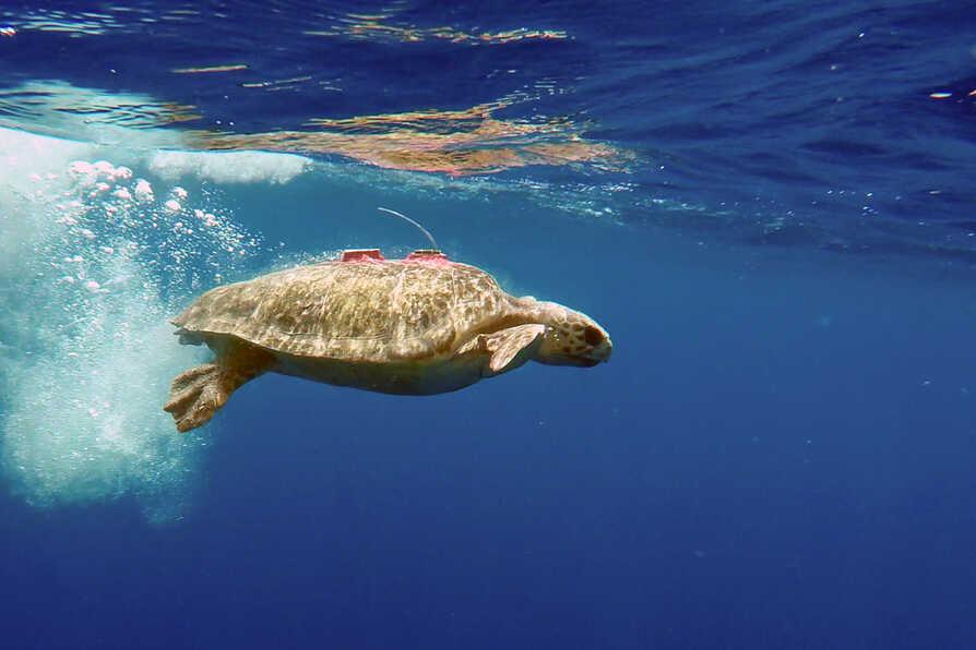 Turtle Tuba with satellite transmitter